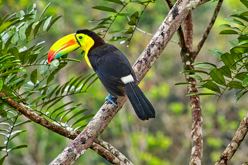 Keel-billed Toucan, Sulfur-breasted Toucan, Rainbow-billed Toucan, Ramphastos sulfuratus, Tropical Rainforest, Costa Rica, Central America, America
