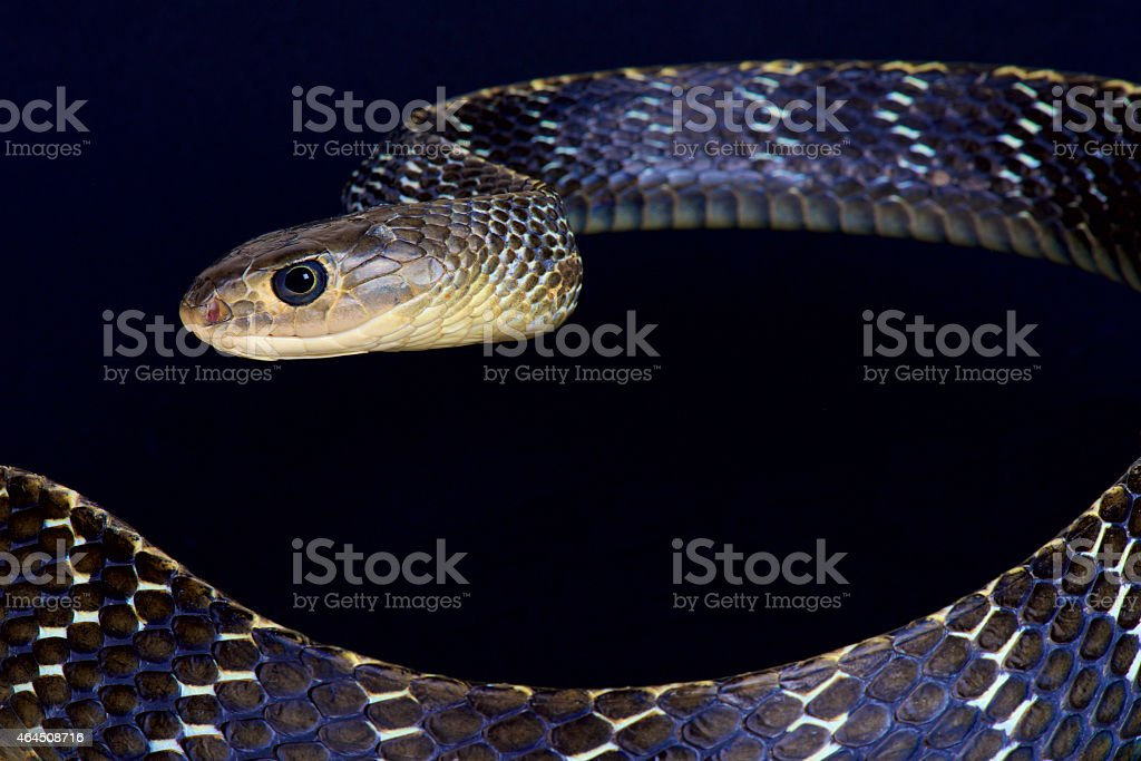 Keeled rat snake / Ptyas carinata stock photo