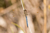 Keeled skimmer dragonfly sitting on grass