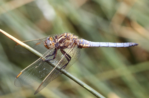 Tot 36-45mm, Ab 23-38mm, Hw 28-33mm, about the size of Sympetrum striolatum. Identification: The common, small Orthetrum of flowing water throughout Europe. The Keeled Skimmer is characterized by its rather small size, fairly slender tapering abdomen and large pterostigma (around 4mm long). Behavior:  Normally sits on vegetation, seldom on the ground. Occurrence: Common around the Mediterranean, but generally local in central and Southern Europe. Habitat: Running waters, such as streams and ditches. In north of range mainly runnels in boggy areas. Flight Season:  From April to November; most abundant from June to August.  This is a Scan from a Slide. Photographed in the South of France.