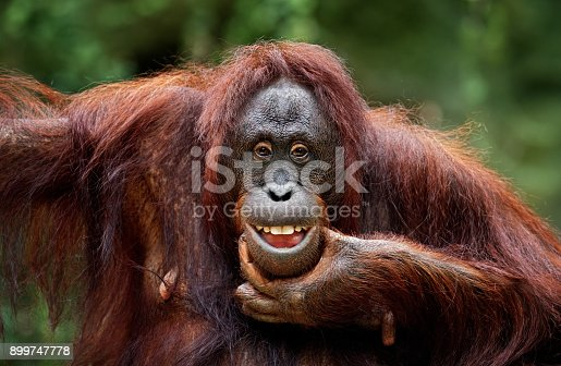close-up of a funny orangutan
