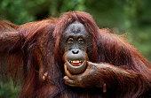 close-up of a funny orangutan