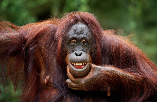 keep smiling close-up of a funny orangutan animal mouth stock pictures, royalty-free photos & images