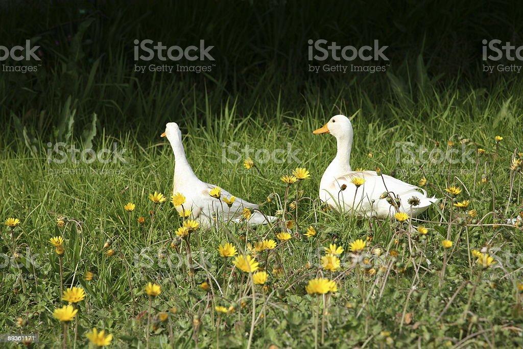 Keep Your Ducks in a Row royaltyfri bildbanksbilder