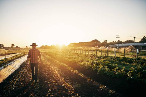 그의 작물에 가까운 시계를 유지 - 농업 뉴스 사진 이미지