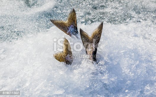 istock Keeping Chinook salmon cool while ice fishing 519011302