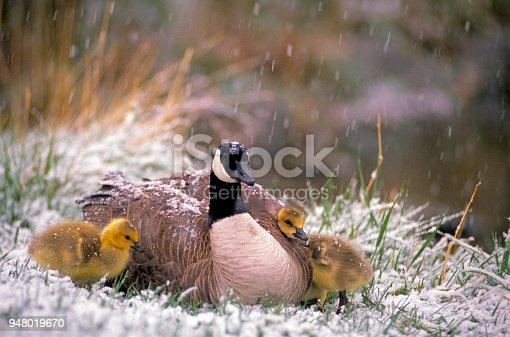 An adult Canada Goose