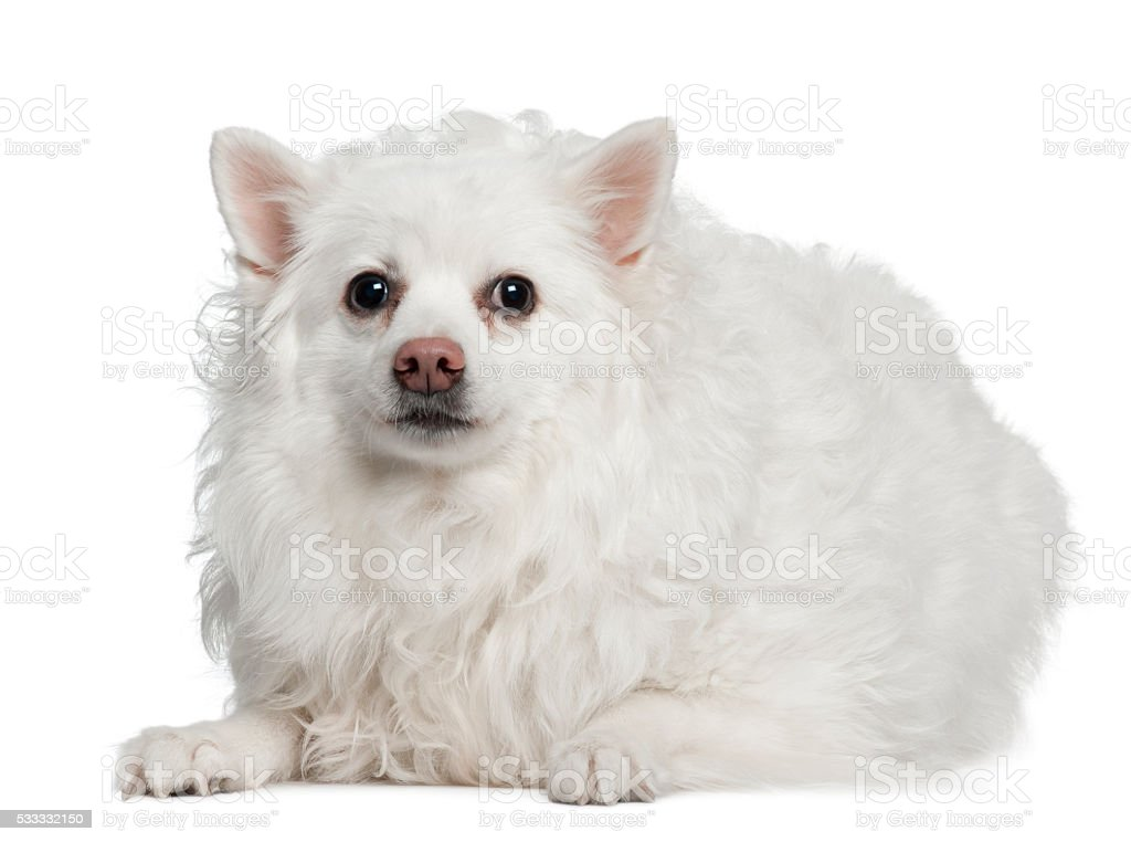 Keeshond, 10 years old, lying in front of white background stock photo