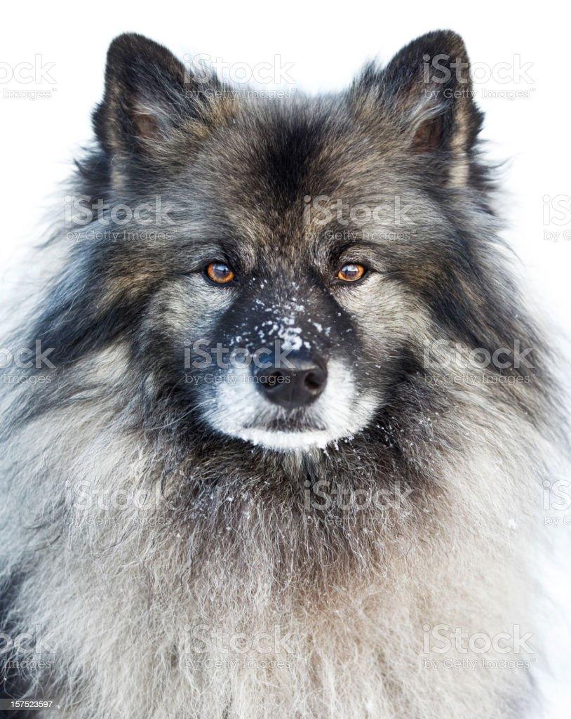 Keeshond breed dog stock photo