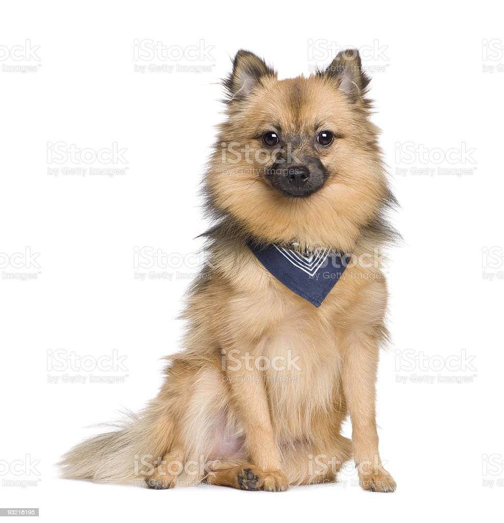 Keeshond royalty-free stock photo