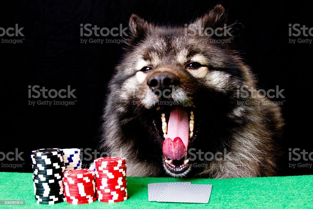 Keeshond playing poker stock photo