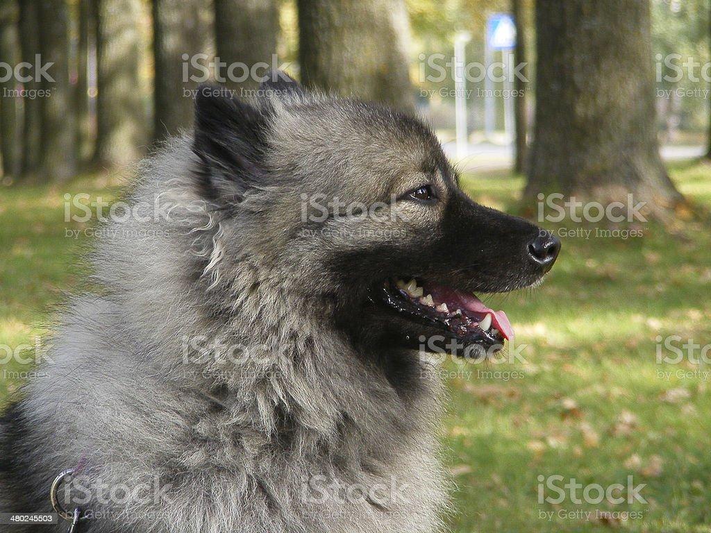 Keeshond portrait stock photo