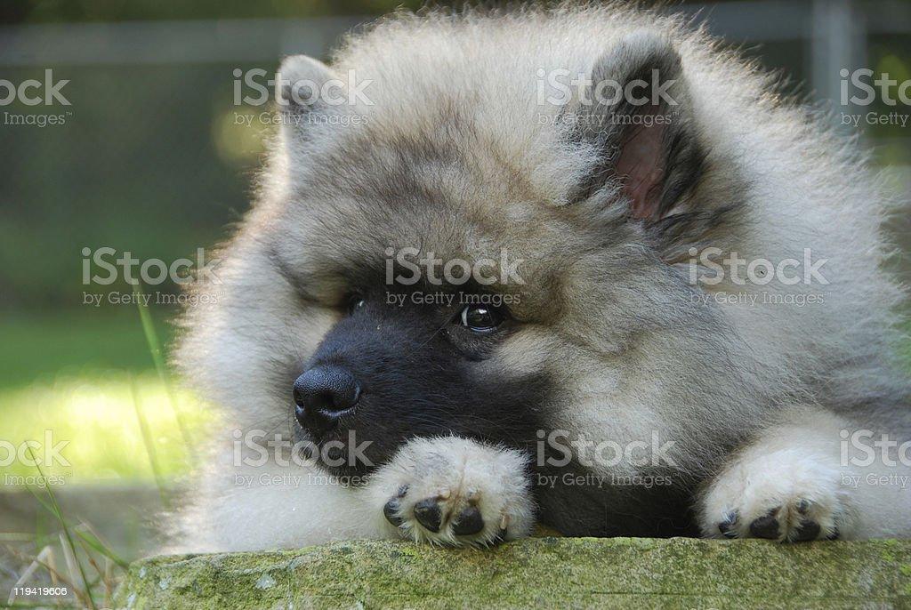keeshond puppy stock photo