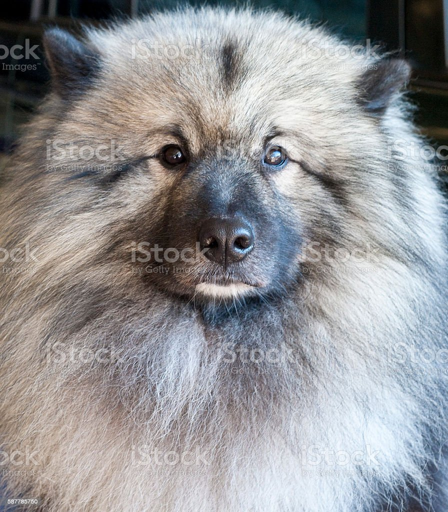 Keeshond rare dog breed. stock photo