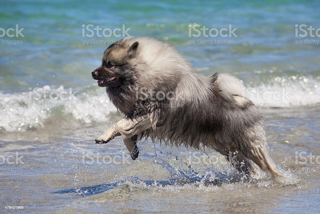 Keeshond running on the beach stock photo