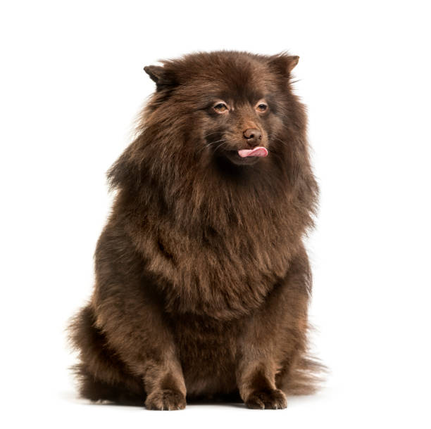Keeshond sitting against white background picture id1184426173?b=1&k=6&m=1184426173&s=612x612&w=0&h=gq7q8v6v5kfrd471lnq5yhov kjbmsa2nh2sxuq8ys0=