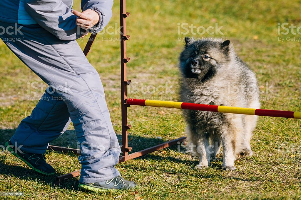 Keeshound, Keeshond, Keeshonden Dog German Spitz Wolfspitz in Do stock photo