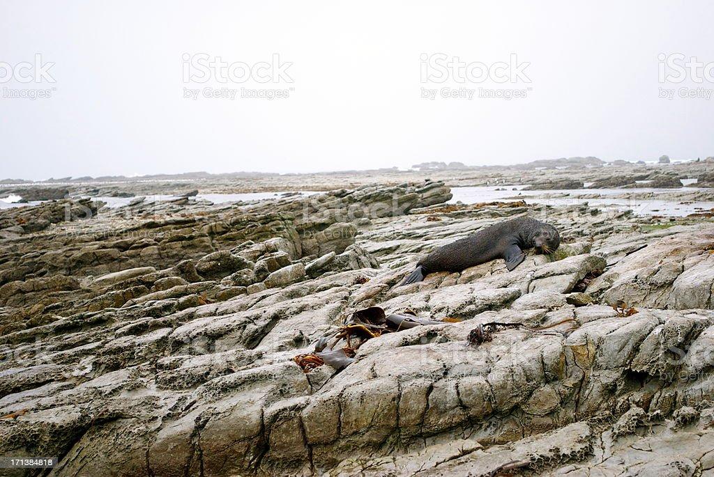 Kekeno (The New Zealand Fur Seal) royalty-free stock photo