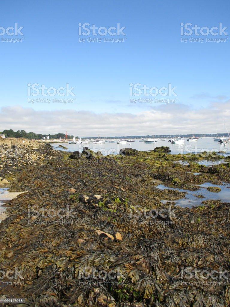 Kelp algen op de Bretoense kust - Royalty-free Alg Stockfoto