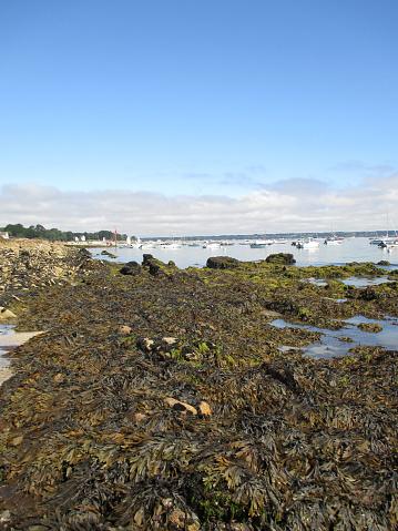 Kelp Algen Op De Bretoense Kust Stockfoto en meer beelden van Alg