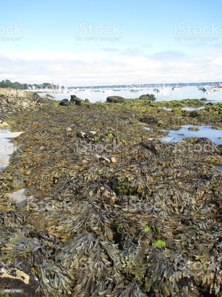 Kelp algae on the Breton coast - Foto stock royalty-free di Acqua