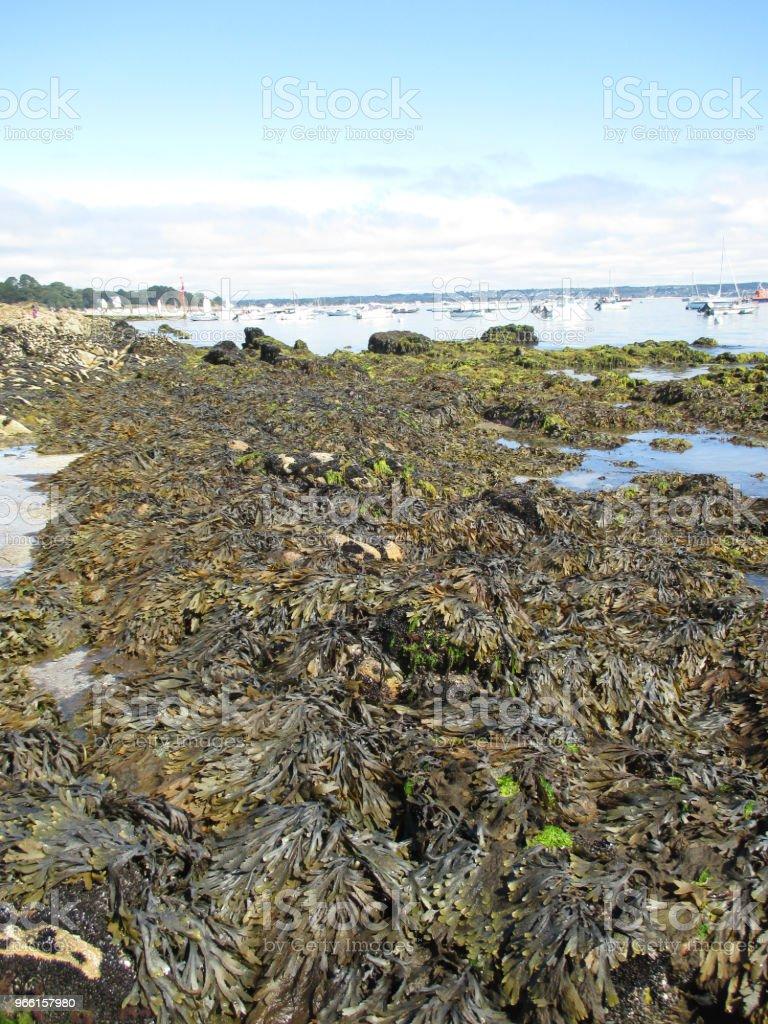 Alghe alghe alghe sulla costa bretone - Foto stock royalty-free di Acqua