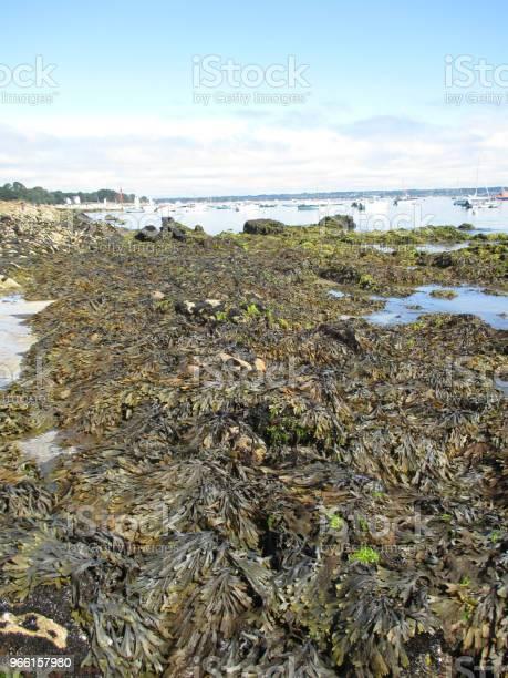 Alghe Alghe Alghe Sulla Costa Bretone - Fotografie stock e altre immagini di Acqua