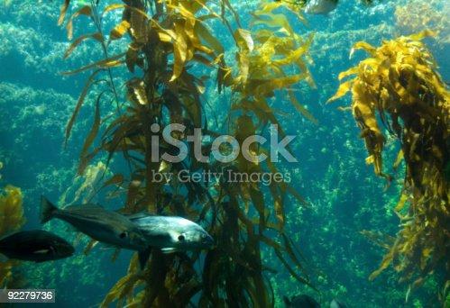 istock Kelp Aquarium 92279736