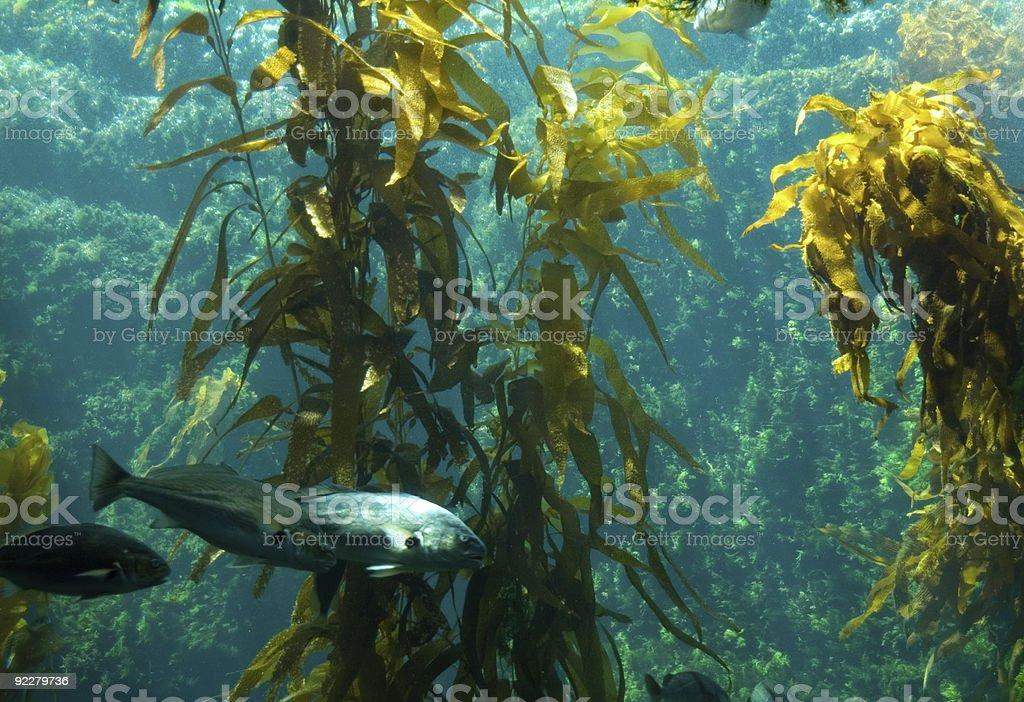 Kelp Aquarium stock photo