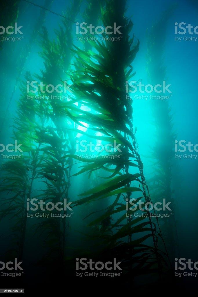 Kelp bed stock photo