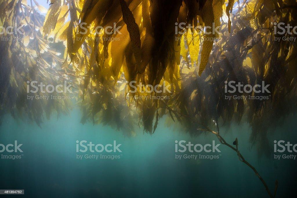 Kelp Canopy stock photo
