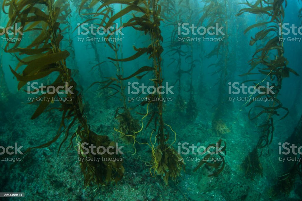 Kelp Forest in California stock photo