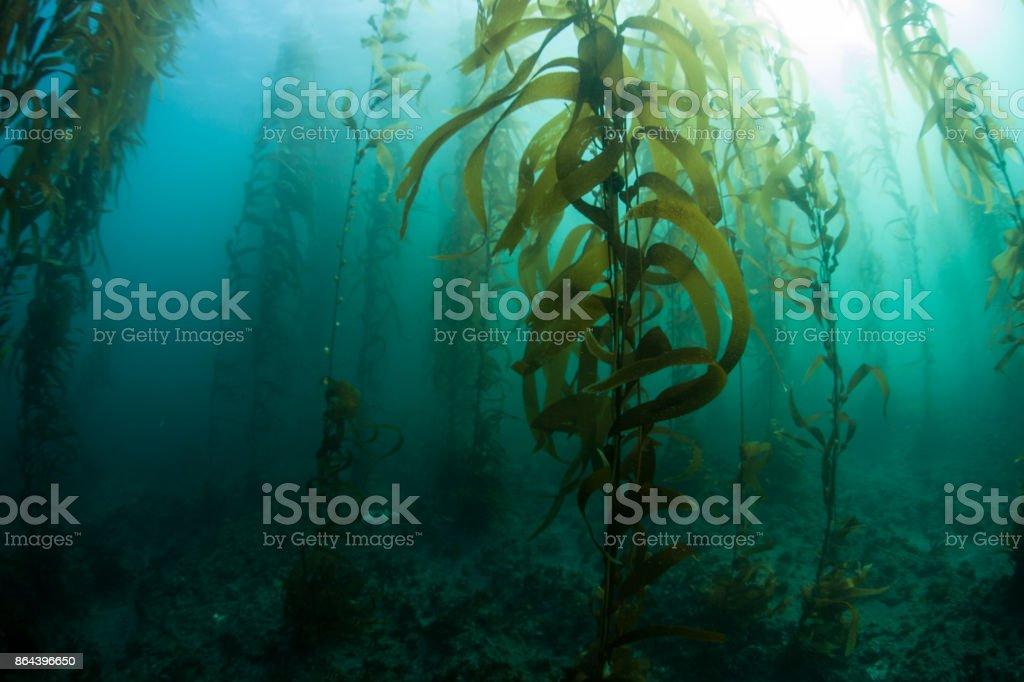 Floresta de algas na Califórnia - foto de acervo