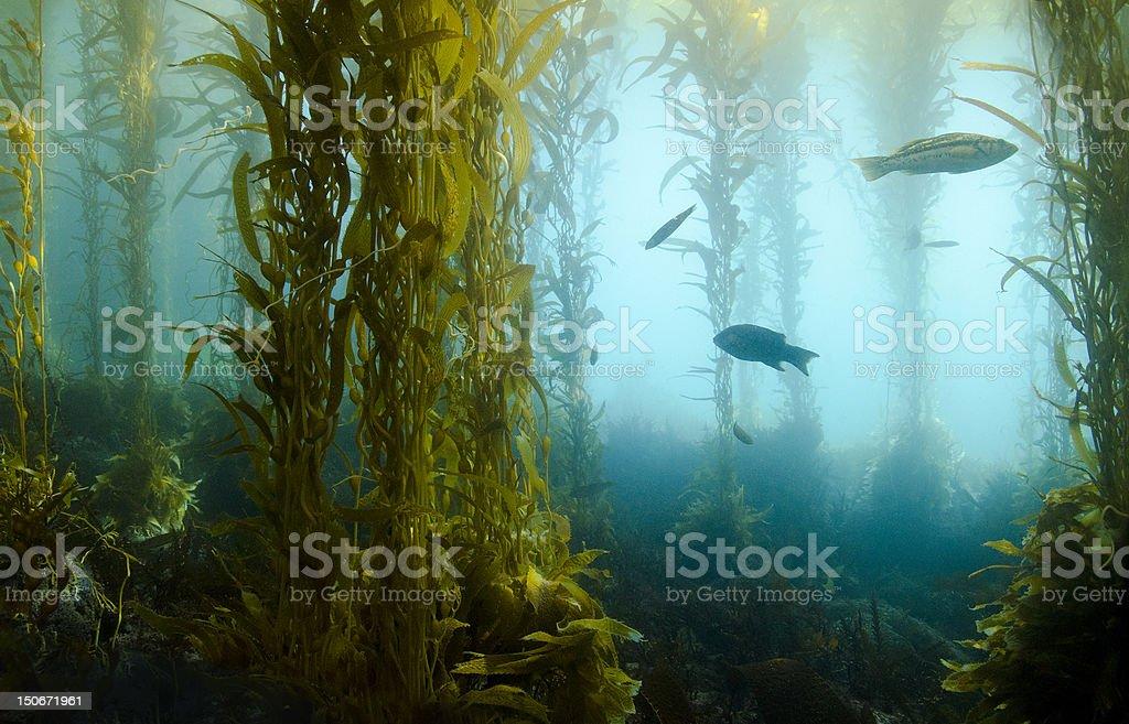 Kelp Forest stock photo