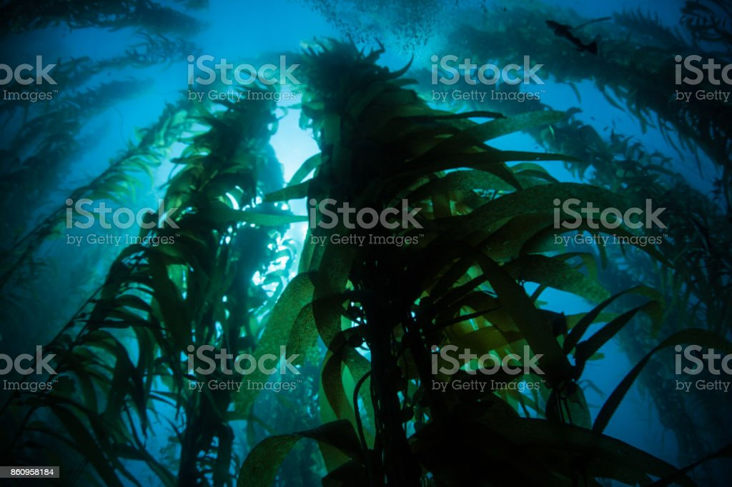 Kelp Forest Silhouette stock photo