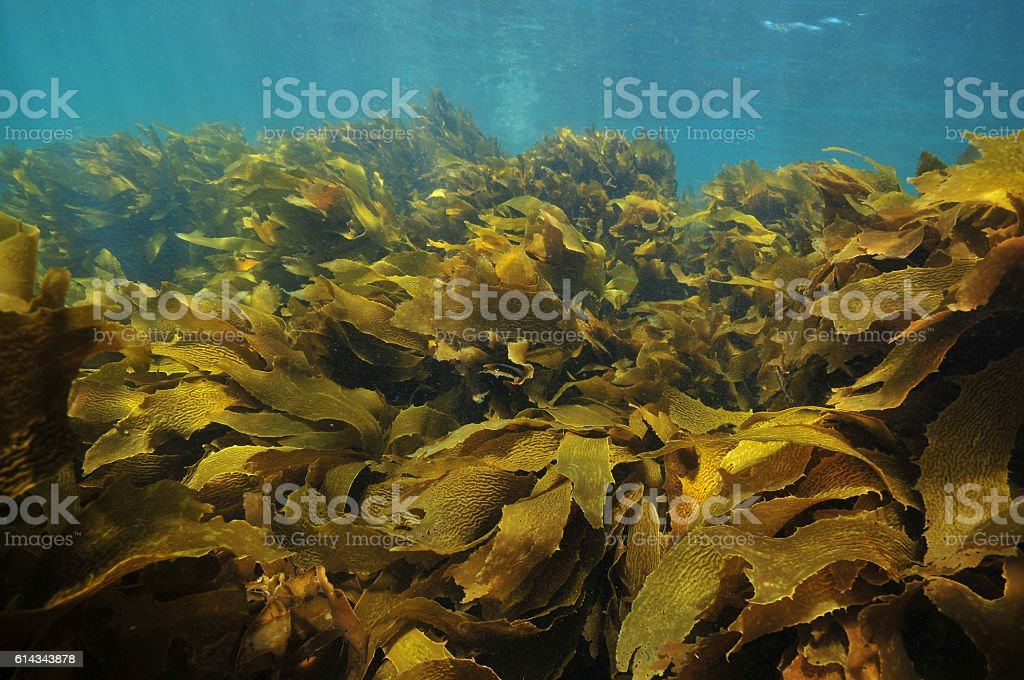 Kelp fronds moving stock photo