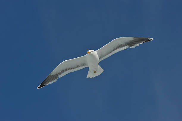 kelp gull  in Antarctica stock photo