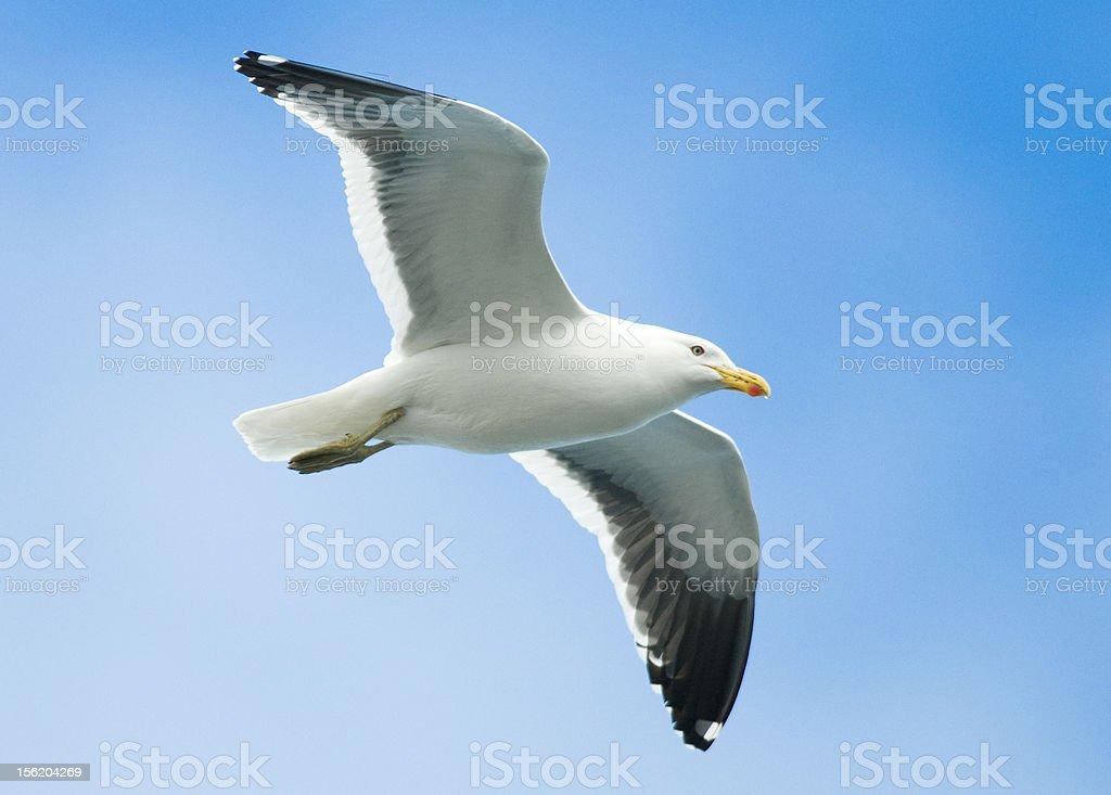Kelp Gull in Flight royalty-free stock photo
