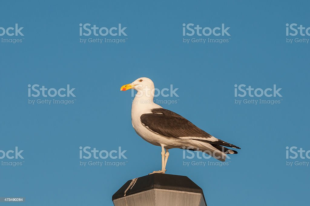 Kelp Gull on a lamp post stock photo