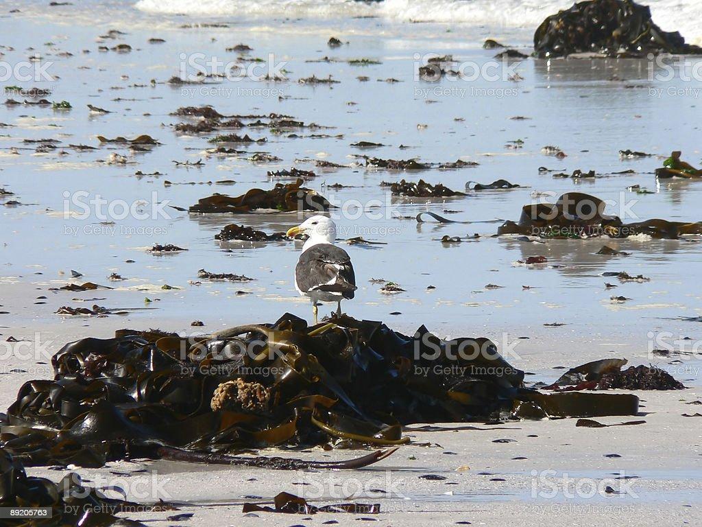 Kelp Gull on Beach stock photo