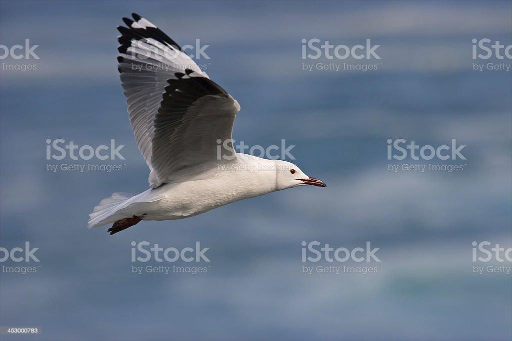 Kelp gull royalty-free stock photo