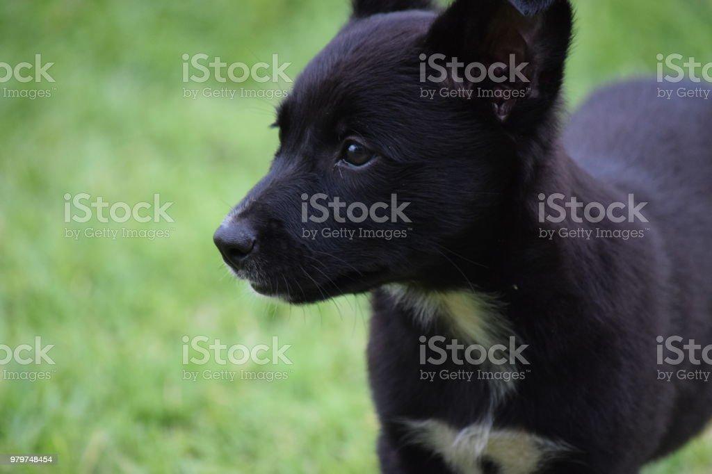 Kelpie Border Collie cross cute puppy stock photo