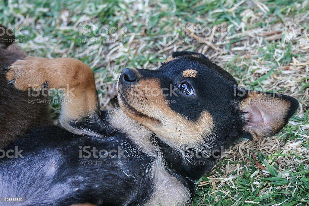 Kelpie sheep dog puppy stock photo