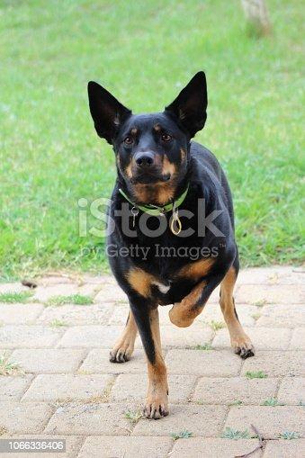 Kelpie,  Australian working dog