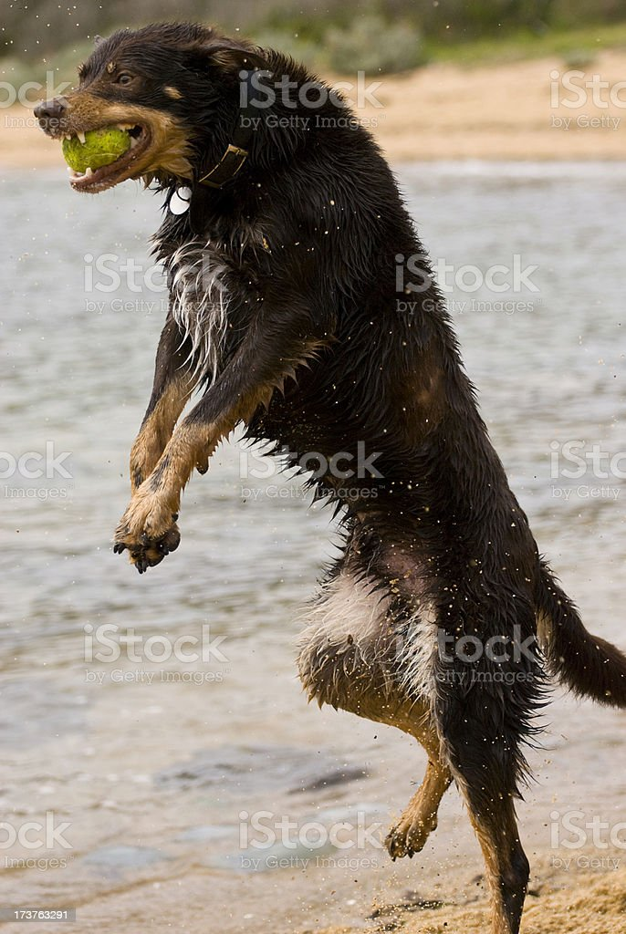 Kelpy Dog Catching Ball royalty-free stock photo