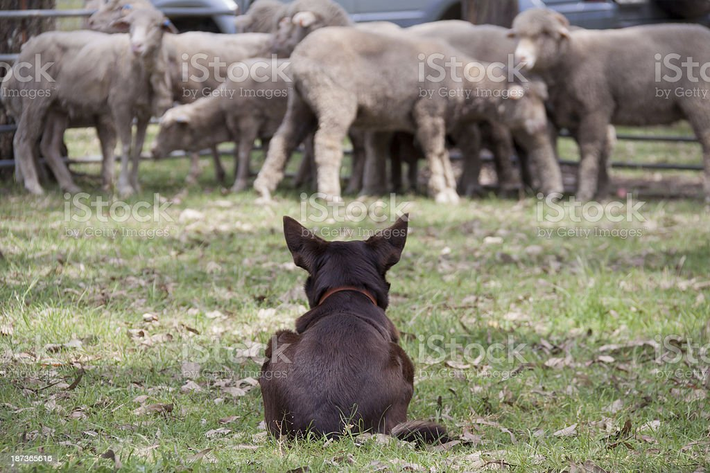 Kelpy Dog Guarding Its Sheep Flock stock photo