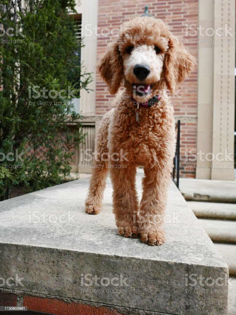 Kennedy The Standard Poodle Puppy Stock Photo Download Image Now Istock