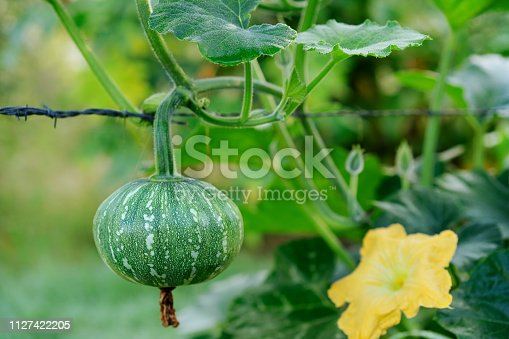 A kent, Jap or japanese pumpkin and flower also known as kabocha hanging from  a vine in an organic garden in winter