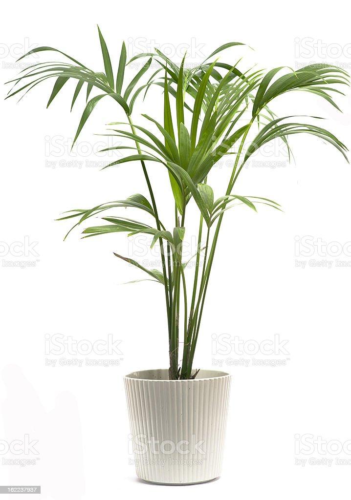 Kentia Palm Tree stock photo
