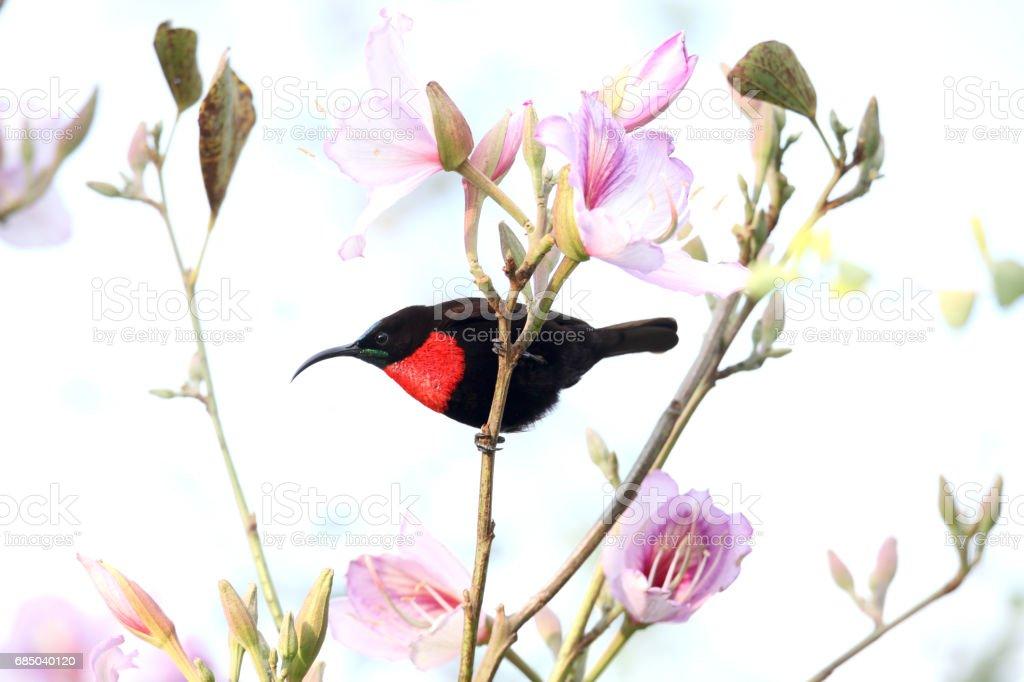 Quénia um beija-flor-peito escarlate - foto de acervo